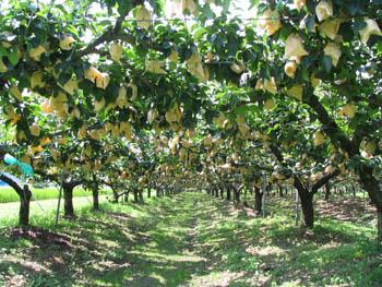 20世紀梨(各種)収穫体験